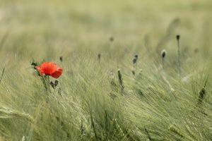 onkruid tussen tarwe – dekenaat Genk